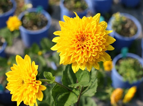 Fall-Blooming Flowers - fall gardening tips