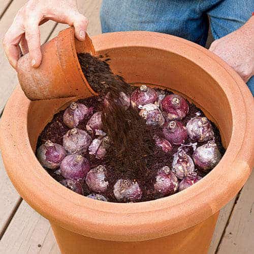 Plant Bulbs in Containers - fall gardening tips